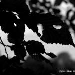 Blätter in s/w